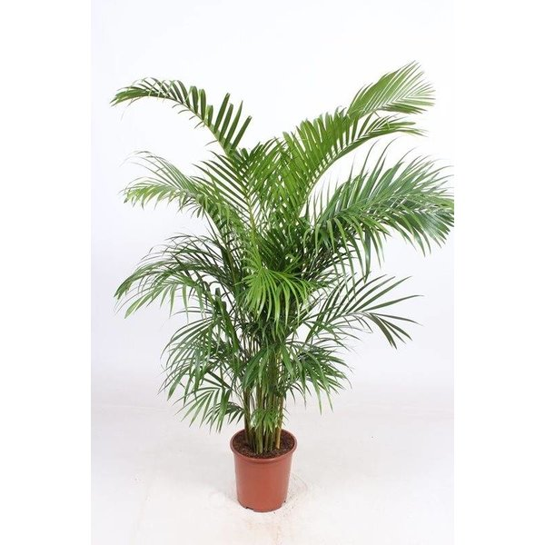 Areca (Dypsis lutescens) Arecapalm