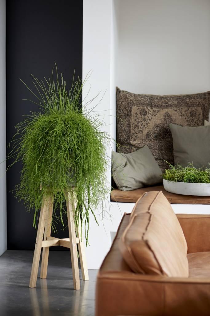Rhipsalis: Houseplant of the month of November