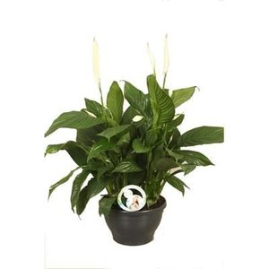 Spathiphyllum Lima (Air So Pure)