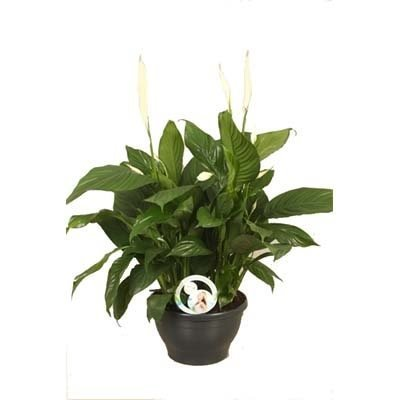 Spathiphyllum Spathiphyllum Lima (Air So Pure)