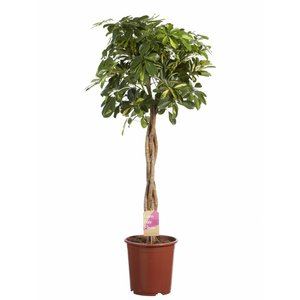 Schefflera Gold Capella braided trunk - Fair Flora
