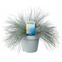Gras Festuca glauca Intense Blue pot 17 cm
