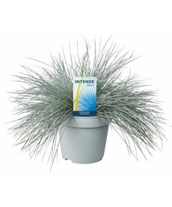 Festuca glauca Intense Blue pot 17 cm