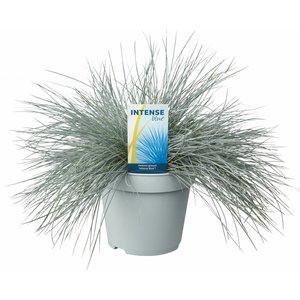 Gras Festuca glauca Intense Blue Topf 17 cm