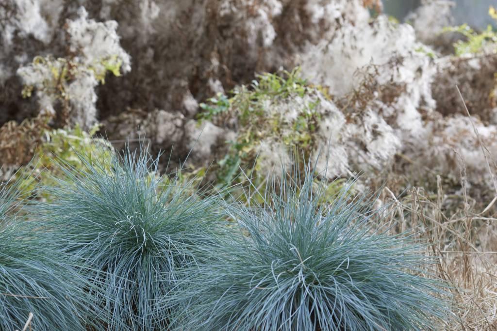 Grassen In Pot.Gras Festuca Glauca Intense Blue Florastore