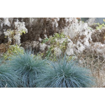 Gras Festuca glauca Intense Blue Topf 23 cm