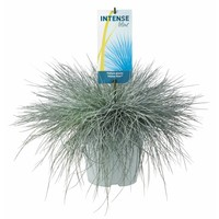 Gras Festuca glauca Intense Blue pot de 23 cm