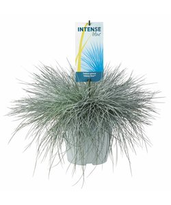 Festuca glauca Intense Blue - pot 23 cm