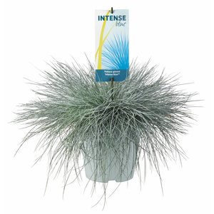 Gras Festuca glauca Intense Blue - Topf 23 cm