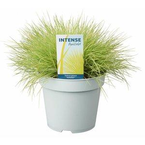 Gras Festuca glauca amigold - Pot 17 cm