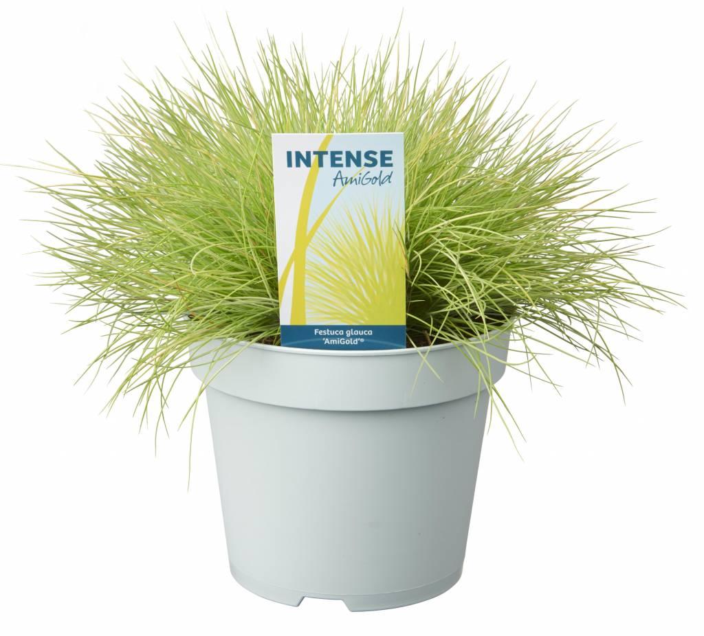 Grassen In Pot.Festuca Glauca Amigold