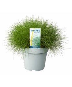 Festuca gautieri 'AmiGreen'®  Pot 17 cm