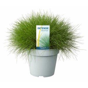 Gras Festuca gautieri 'AmiGreen'® Topf 17 cm