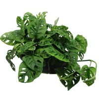 Monstera Monkey Mask' schaal
