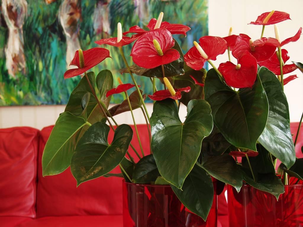Anthurium: Zimmerpflanze des Monats Dezember