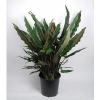 Alocasia Lauterbachiana XL