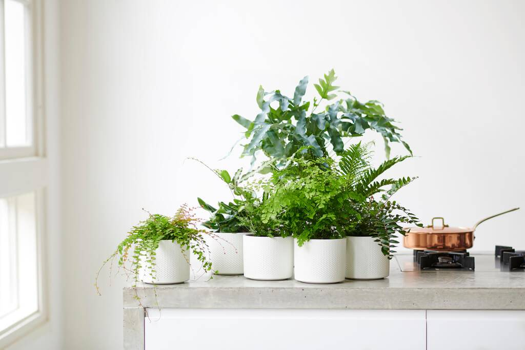 Ferns: houseplants of the month february