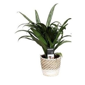 Aglaonema in donna grass basket
