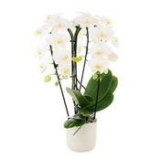 Phalaenopsis Fontano bellagio 3 Niederlassungen - in Keramik