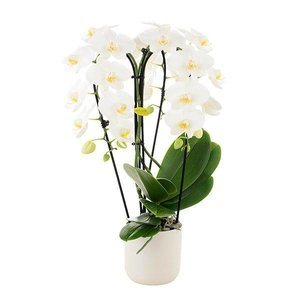Phalaenopsis Fontano bellagio 3 branches - in ceramics