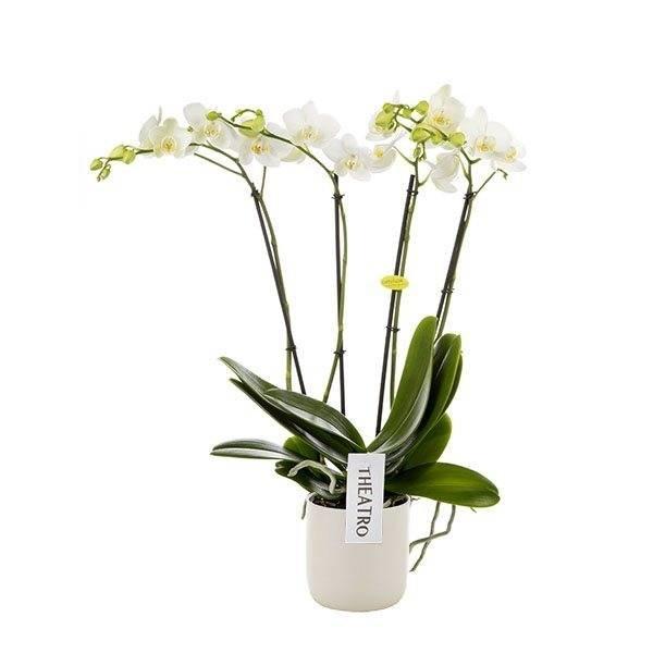 Phalaenopsis 4 branch theatro - no.12 in decorative pot white