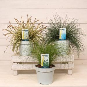 Gras Ornamental gemischt