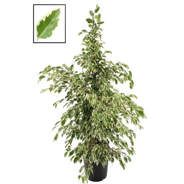 Ficus Twilight®