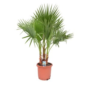 Washingtonia  filifera - Fan palm