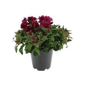 Alstroemeria Colorita® violet - Pot 19 cm