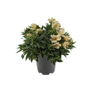 Alstroemeria Colorita® white - Pot 19 cm