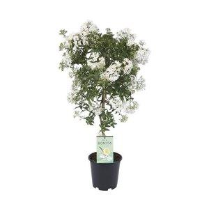 Solanum jasminoides op Stam (rijkbloeiend)