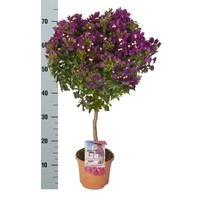 Bougainvillea 'Alexandra' - pot Pot 21 cm
