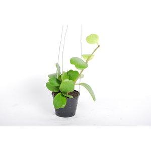 Hoya Kerrii - pot 9 cm