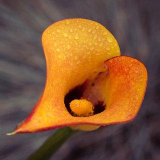 Zantedeschia Calla