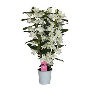 Dendrobium Nobilé Classic Apollon - 3 Niederlassungen