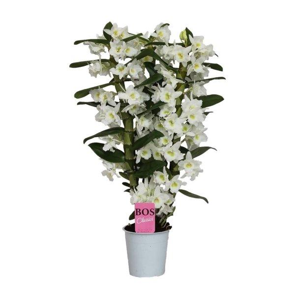 Dendrobium Nobilé Classic Apollon -  3 takken