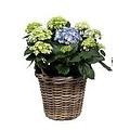 Hydrangea  10 to 15 buttons in basket + water reservoir