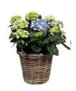 10 to 15 buttons in basket - Hydrangea