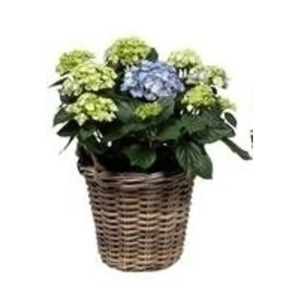 Hydrangea  10 to 15 buttons in basket + water reservoir