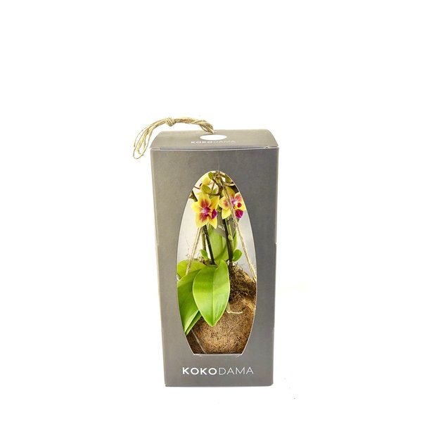 Kokodama Orchid 2 Branch - Gift Package