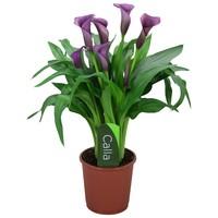 Zantedeschia Calla Paco - 5 + bloemen
