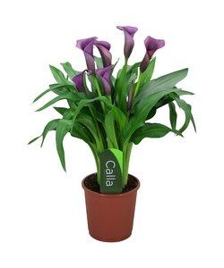 Paco - 5 + bloemen