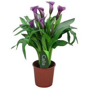 Zantedeschia Calla Paco - 5 + Blumen