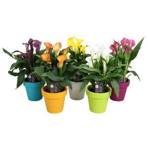 Zantedeschia Calla mixed In lofly pot - 5+ flowers