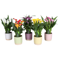 Zantedeschia Calla Julia ceramics - 5 + flowers