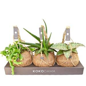 Kokodama Tough mix NO PLASTIC 100% natural