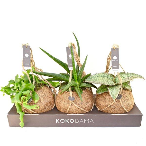 Kokodama Mélange dur sans plastique 100% naturel