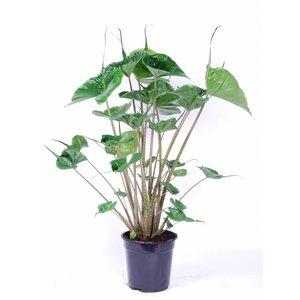 Alocasia Macrorrhiza - Stingray 3 PP - pot de 19 cm