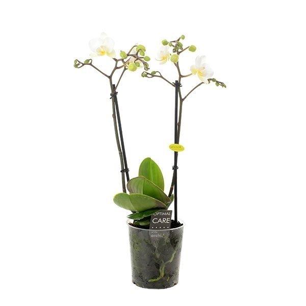 Phalaenopsis Multiflora 2 branch white - pot 9 cm