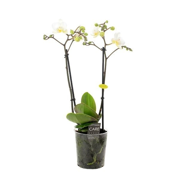 Phalaenopsis Multiflora 2 tak wit - pot 9 cm